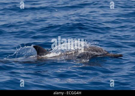 Spinner Dolphin, Ostpazifischer Delfin, Stenella longirostris, surfacing, Indonesia Bali - Stock Image