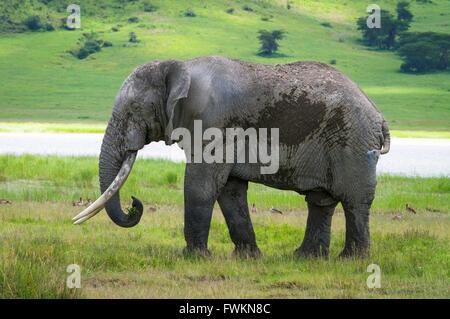 Large male African Elephant (Loxodonta africana) standing in Ngorongoro Crater, Tanzania, Africa - Stock Image