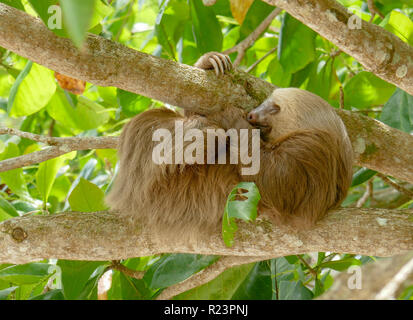Sloth hanging in tree sleeping scratching leg - Stock Image