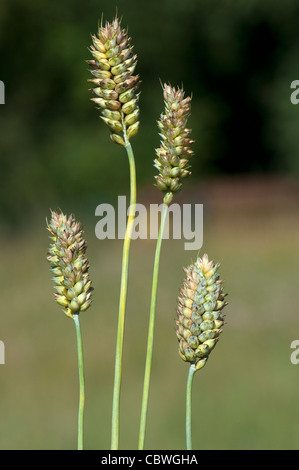 Common Wheat, Bread Wheat (Triticum aestivum), unripe ears. - Stock Image