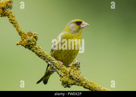 Male greenfinch, Latin name Carduelis chloris, perched on a lichen covered branch against a green background - Stock Image