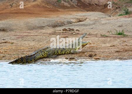 Crocodile on the bank of the Kazinga Channel, Queen Elizabeth National Park, Uganda - Stock Image