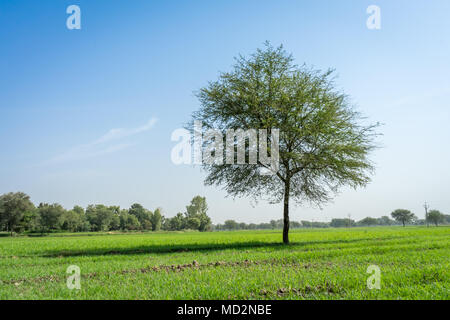 Isolated tree in field captured near Rajasthan, India. - Stock Image