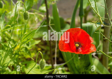 A red poppy and several buds in sunlight with various grasses and other plants in the background. Photographed in north east Italy. - Stock Image
