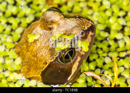 Still common frog (Rana temporaria) half submerged in garden pond surrounded by pond weed. Taken in Poole, Dorset, England. - Stock Image