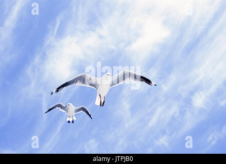 Silver Gulls,  (Chroicocephalus novaehollandiae), in flight, Byron Bay, New South Wales, Australia - Stock Image
