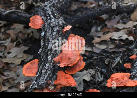 Close up of orange mushrooms on a fallen tree branch amidst brown leaves - Stock Image