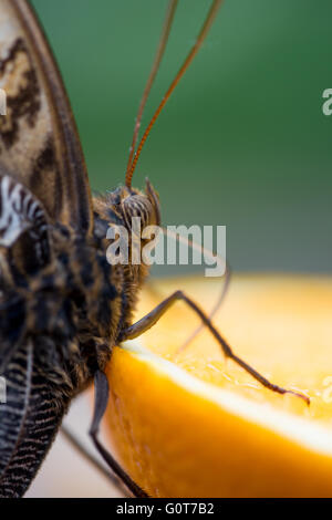 A butterfly 'eating' an orange - Stock Image