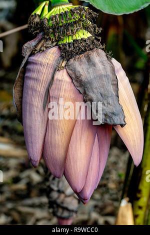 Banana tree flower - Stock Image