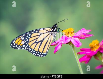 Monarch butterfly Danaus plexippus on a zinnia flower - side view - Stock Image