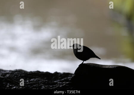 White-throated Dipper, Cinclus cinclus, in silhouette - Stock Image