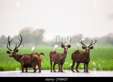 male Sambar Deer, (Rusa unicolor), in wetland habitat, Keoladeo Ghana National Park, Bharatpur, Rajasthan, India - Stock Image