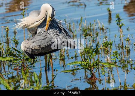 Rutland water Oakham 26 th June 2018: Grey Heron and  bathing swans on a hot day as Gray Heron Little Egret fishing, mother feeds her young, young male Ofspray takes his fiorst flight.  Clifford Norton Alamy  Live News. - Stock Image