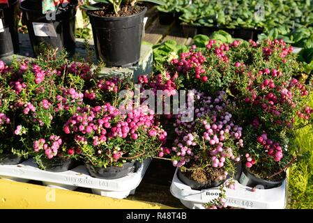 Trays of pernettya mucronata rood on display outdoors at a garden centre in Glasgow, Scotland, UK, Europe - Stock Image