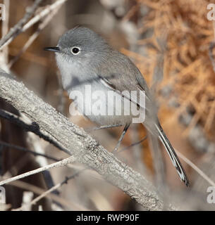 Side view of a blue-gray gnatcatcher (Polioptila caerulea) in the desert of California - Stock Image