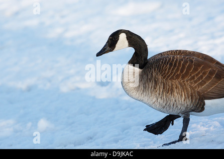 Canada Goose walking on winter snow - Minnesota, USA. - Stock Image