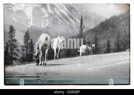 Mountain sheep with snowy mountain background - Stock Image