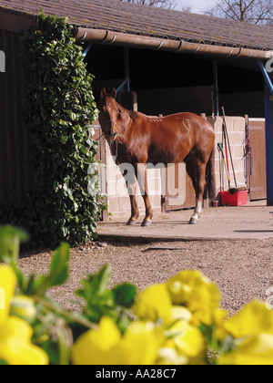 Horse stables and daffodils in spring Norfolk England - Stock Image