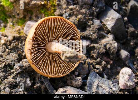 Pholiota highlandensis Mushroom growing in a burn pile, in Green Caynon, Granite County Montana.  Pholiota highlandensis   Kingdom: Fungi Division: Ba - Stock Image