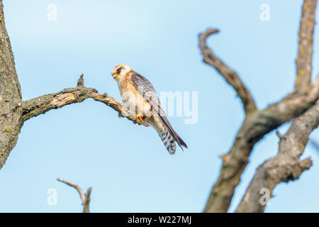 Female red-footed falcon (Falco vespertinus) percing on a branch, Koros-Maros National Park, Bekes County, Hungary - Stock Image