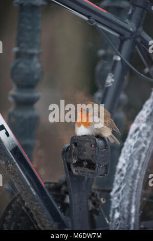 European Robin or Eurasian Robin, (Erithacus rubecula), perched on bike pedal during winter, Regents Park, London, - Stock Image