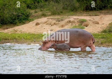 Hippo, Hippopotamus Amphibius, Kazinga Channel, Uganda East Africa - Stock Image