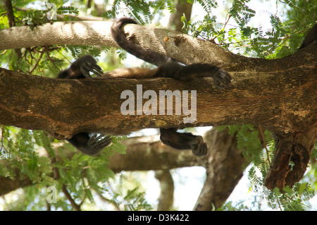Howler Monkey in tree on the beach of Costa Rica. Adults, babies, playing, climbing and sleeping. - Stock Image
