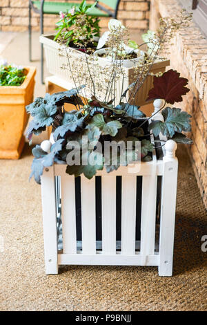Coral Bell plant, Heuchera hybrid, with spent flowers, in a  white slatted wooden planter box sitting on a front porch. - Stock Image