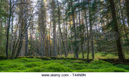 A pine forest along the Cateran trail in Perthshire, Scotland - Stock Image