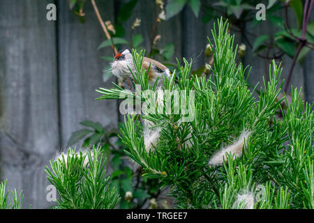 Urban wildlife as a goldfinch (Carduelis carduelis) wild bird gathers discarded cat fur moult from a rosemary bush - Stock Image