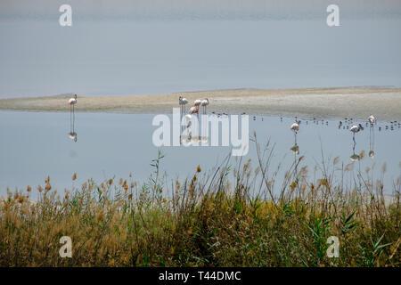 View of Great Flamingos at Al Wathba Wetland Reserve  Abu Dhabi, UAE - Stock Image
