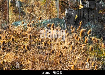 Autumn teasels in setting sun, Eglinton Growers allotments, Kilwinning, Ayrshire, Scotland - Stock Image