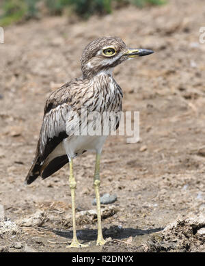 A  water thick-knees (Burhinus vermiculatus) or water dikkop on the banks of the Kazinga Channel between Lake George and Lake Edward. Queen Elizab - Stock Image
