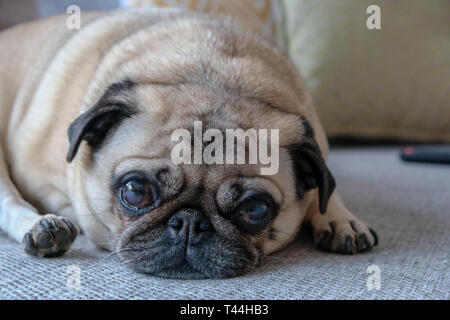 A pug dog lies down, looking straight at the camera - Stock Image