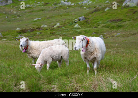 Sheep in Lysefjord - Stock Image