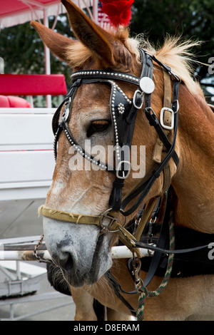 Close up of a carriage horse from New Orleans, Louisiana - Stock Image