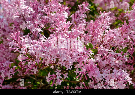 miniature lilac plant in garden, north norfolk, england - Stock Image