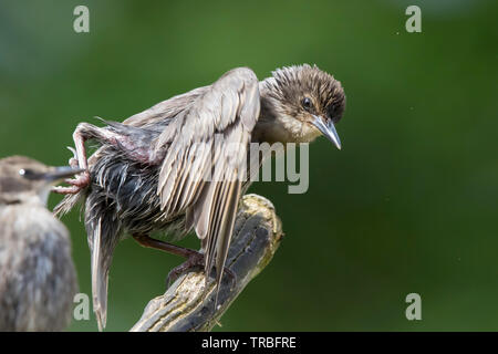 Detailed close-up side view of scrawny, baby, British starling birds (Sturnus vulgaris) struggling to perch on branch in outdoor UK woodland habitat. - Stock Image