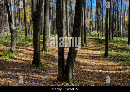 Trees and fallen yellow leaves on a forest floor in autumn. Bitsevski Park (Bitsa Park), Moscow, Russia. - Stock Image