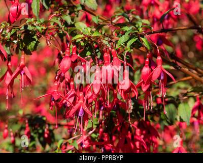 Red flowered, purple skirted, woody semi evergreen shrub, Fuchsia magellanica 'Ricartonii' - Stock Image