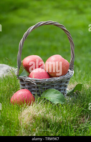 Fresh garden green and red apples in basket. On outdoor grass meadow - Stock Image