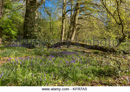 Bluebells in Ambarrow Woods, Sandhurst UK - Stock Image