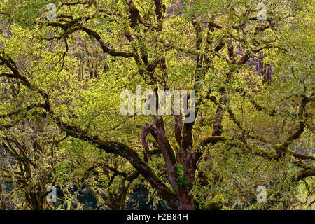 Northwest Oak Tree During Sunset - Stock Image