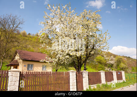 Little house in natural landscape, building exterior in spring, house backyard with blooming plum tree below the - Stock Image
