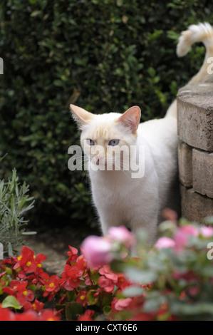 Thai cat standing in the garden - Stock Image