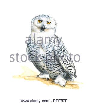 snowy owl nyctea scandica - Stock Image