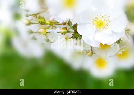 White rose flowers in full bloom on a  summer day, close-up on one flower head, green blurry background, text or - Stock Image