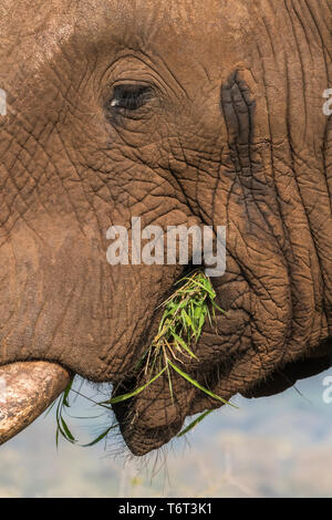 African elephant bull (Loxodonta africana) in musth, showing temporin secretion from temporal duct, Zimanga private game reserve, KwaZulu-Natal, South - Stock Image