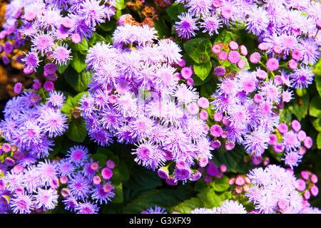Ageratum purple - Stock Image