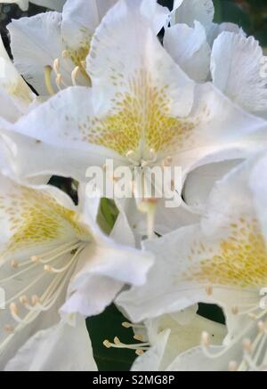 Rhododendrons - Stock Image